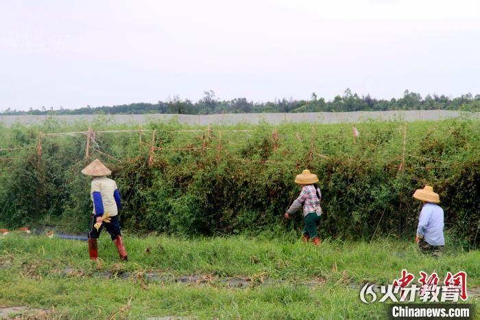 海南文昌文教镇文南村村民正忙着把地翻新准备继续种植反季节瓜菜。符宇群 摄