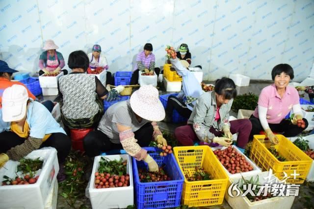 在遂溪县乌塘镇湛川村田头小站冷链中心,农户们正在分选打包荔枝