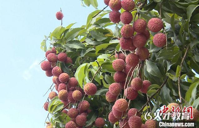 荔枝之乡增城荔枝今年产量预计达4.1万吨