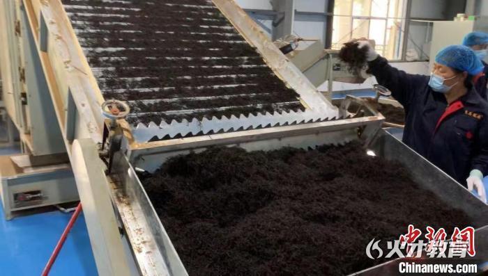 制茶工人在中国铁塔援建的麻阳寨安置点茶叶扶贫车间工作 钟爽 摄